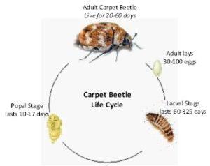 Beetles Atoz Pest Control