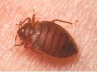 Bed Bug on skin