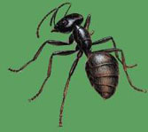 pest_carpenter-ants